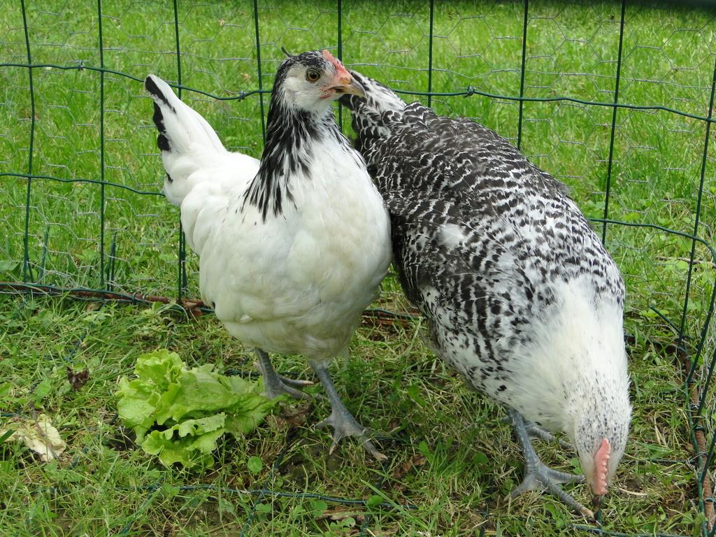 Mes nouvelles poulettes et mes pious Cream  Legbar ont 3 semaines Dsc01111