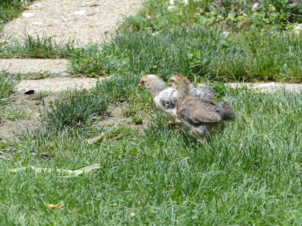 Mes nouvelles poulettes et mes pious Cream  Legbar ont 3 semaines Dsc01114