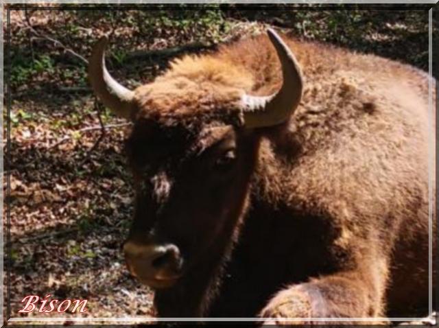 Des Têtes avec des gueules Bison_10
