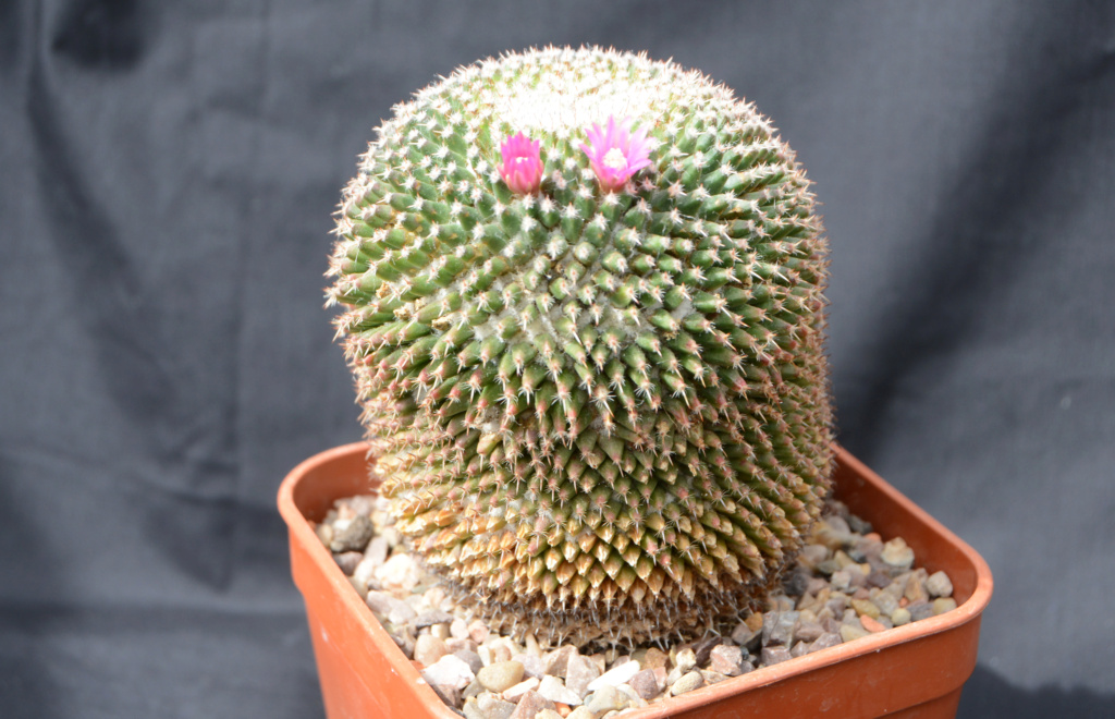 Is this a Mammillaria sempervivi or something else? Mammil10
