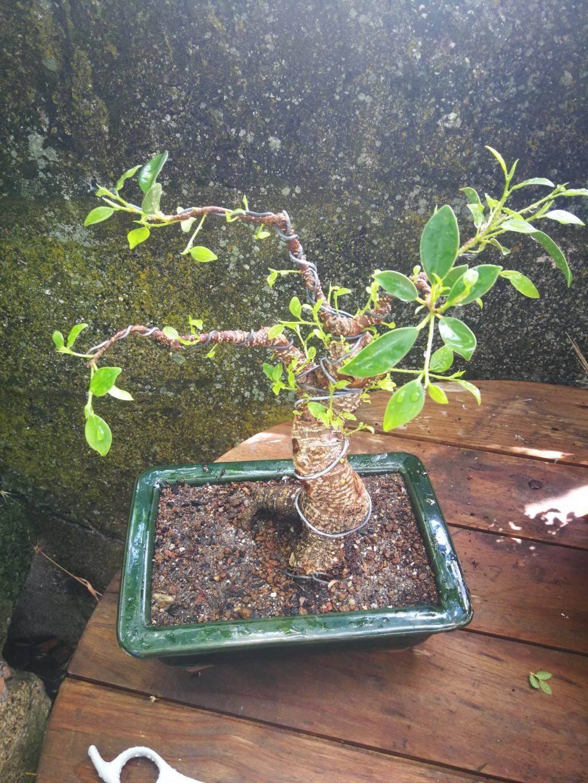 Evolución de Ficus retusa opiniones  Img_2010
