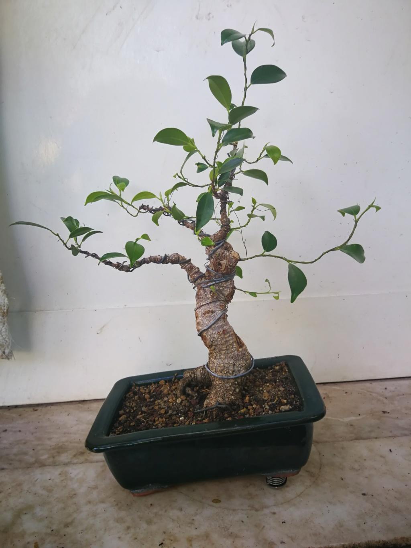 Evolución de Ficus retusa opiniones  Img_2021