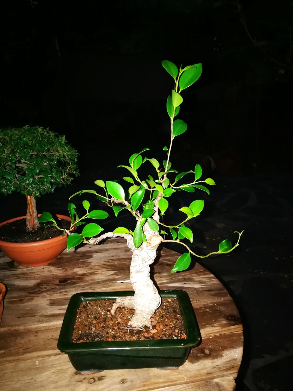 Evolución de Ficus retusa opiniones  Img_2022