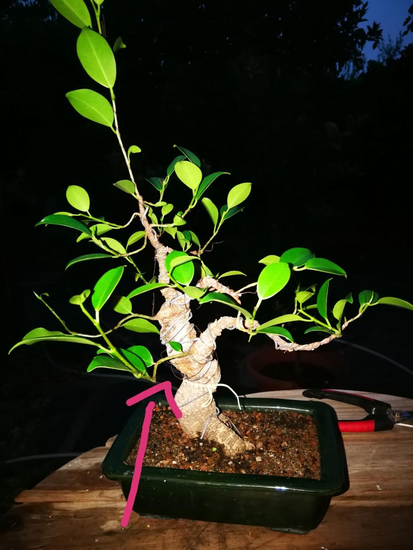 Evolución de Ficus retusa opiniones  Img_2023