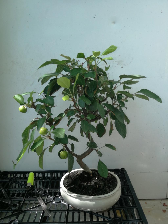 Que os parece mi nuevo manzano, (ayuda en el diseño)  Img_2031