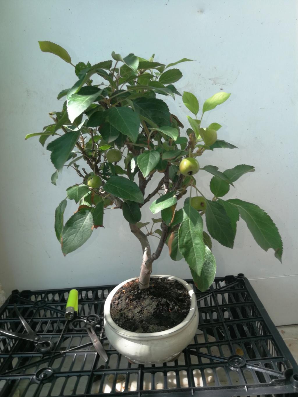 Que os parece mi nuevo manzano, (ayuda en el diseño)  Img_2032