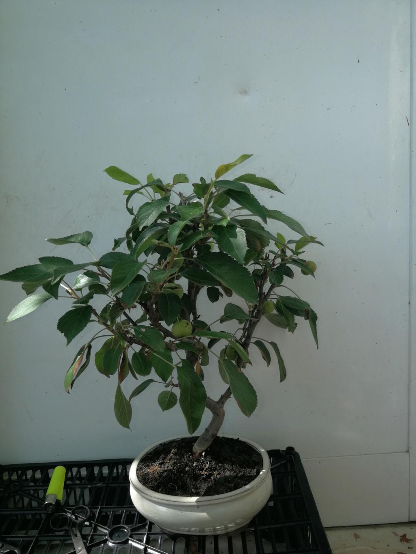 Que os parece mi nuevo manzano, (ayuda en el diseño)  Img_2033