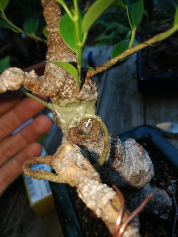 Evolución de Ficus retusa opiniones  - Página 2 Img_2038