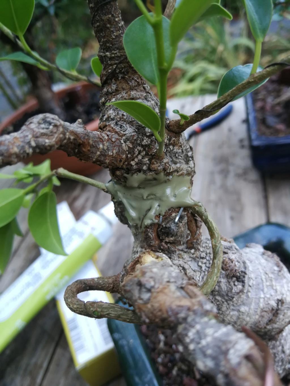 Evolución de Ficus retusa opiniones  - Página 2 Img_2039
