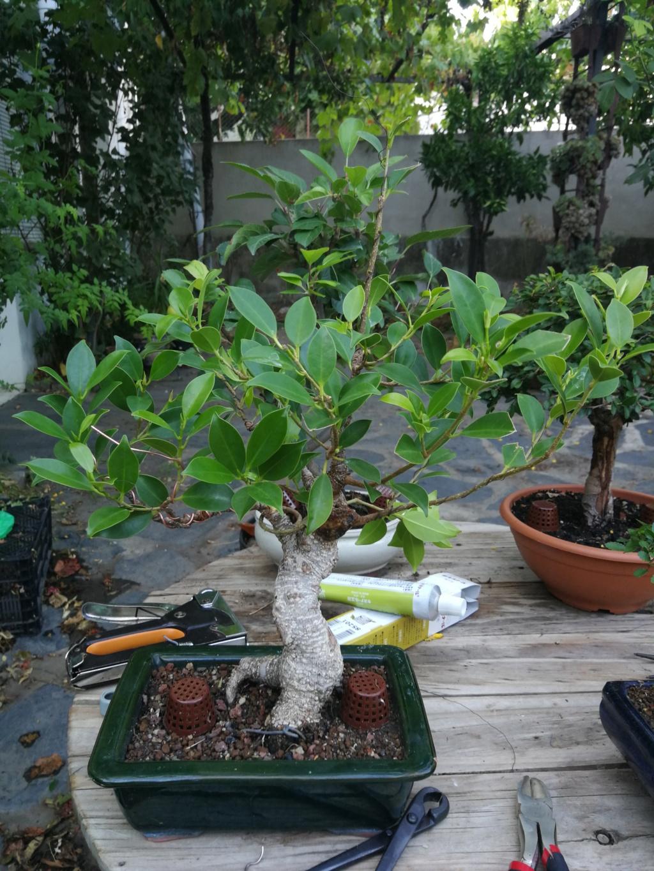 Evolución de Ficus retusa opiniones  - Página 2 Img_2041