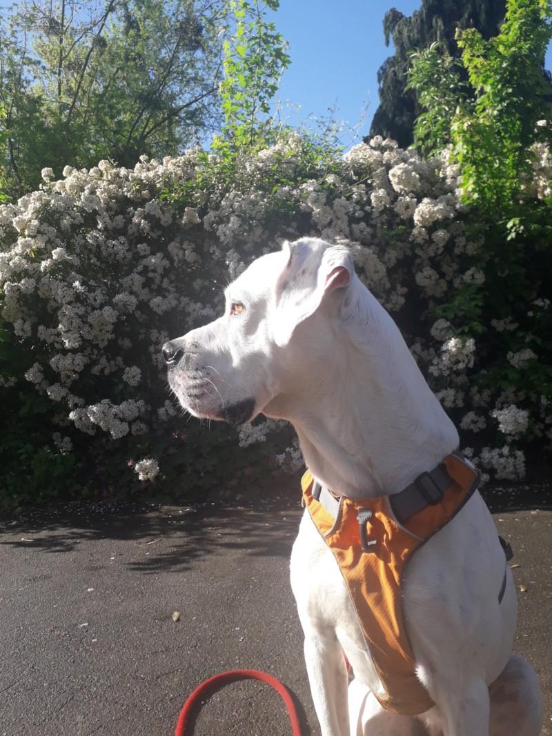 Marley - mâle boxer x setter anglais (25/09/2012)  20190421