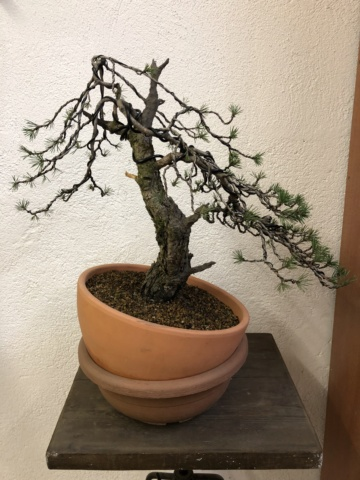 Compro Bonsai 18c0ff10