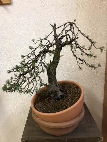 Compro Bonsai 258de410