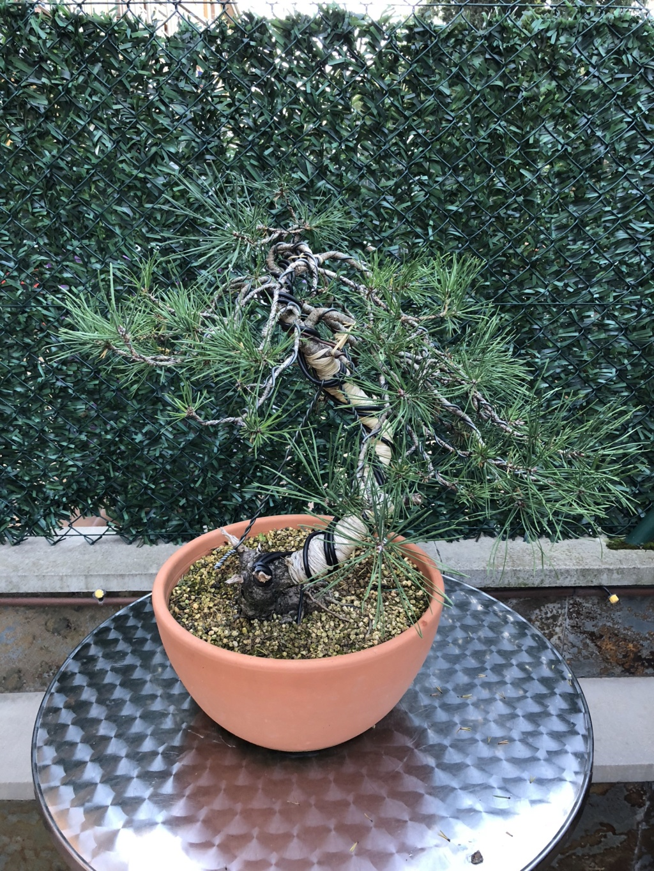 Compro Bonsai 56a24010