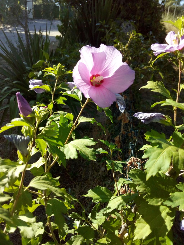 mes hibiscus  Img_2015