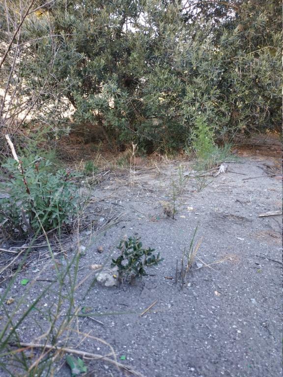 Duda con inicio bonsai olivo  Img_2011