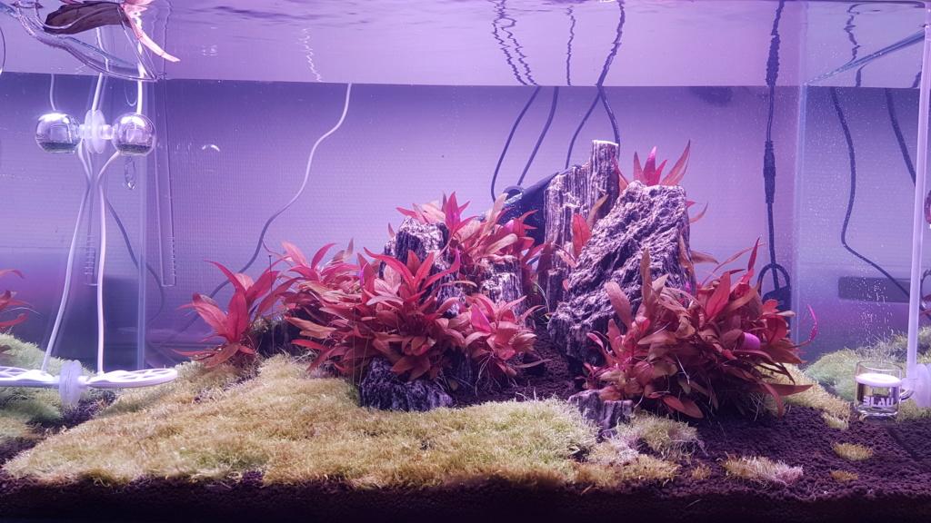 Planter de l'Utricularia graminifolia 20200238