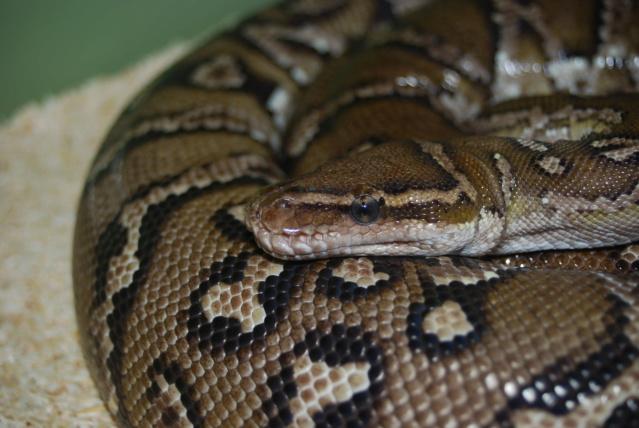 Python anchietae Dsc_0510