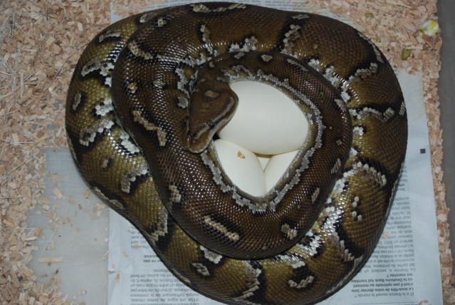 Python anchietae Dsc_0610