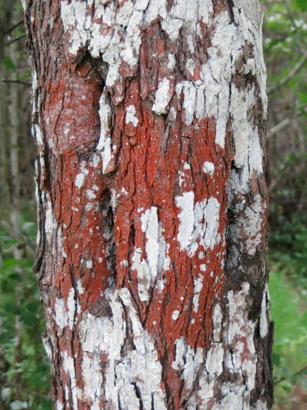 Lichen rojo tronco arbol ribera Liquen14
