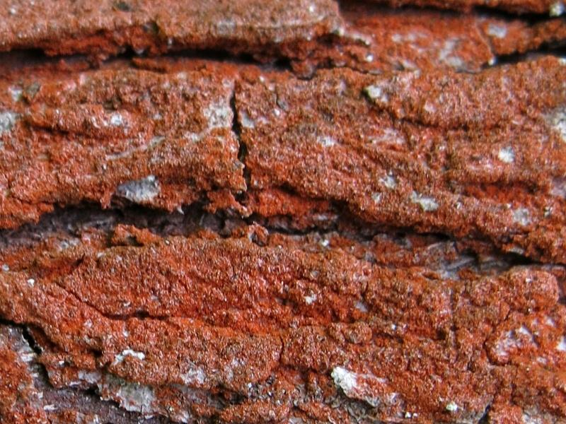 Lichen rojo tronco arbol ribera Liquen15