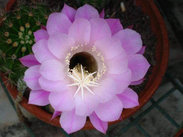 Qui suis-je[Echinopsis rubelliflora] Cactee13