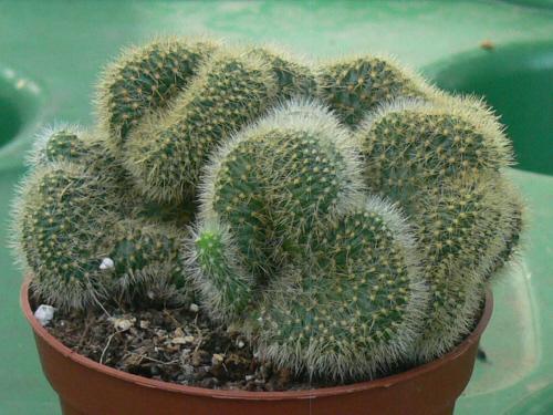 Cleistocactus samaipatanus cristata Cactee15