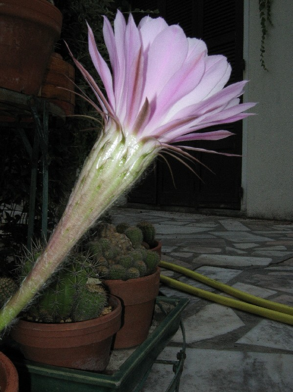 Qui suis-je[Echinopsis rubelliflora] Img_6111