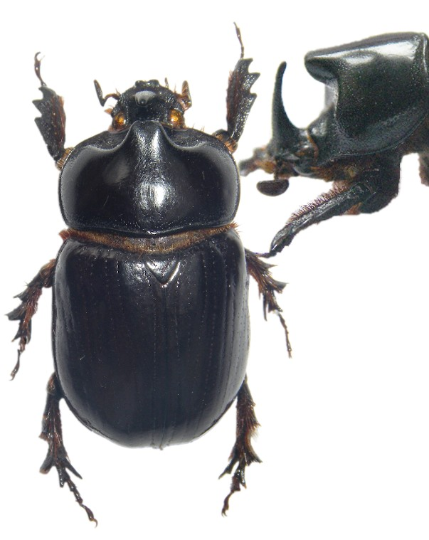 [Xyloryctes lobicollis] Devinette coleo 1 Nicara10