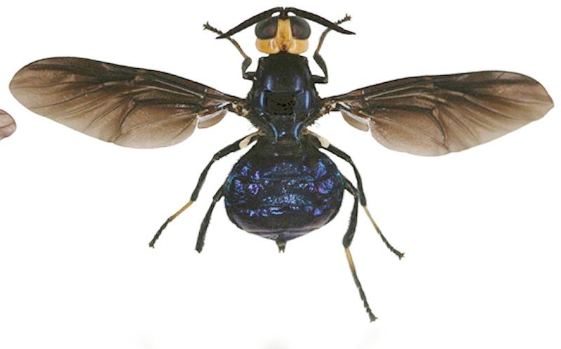 Diptera ... Dipter10