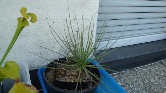 Drosophyllum Dsc00210