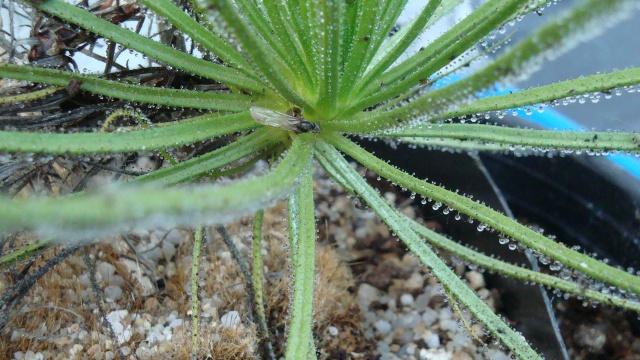 Drosophyllum Dsc00211