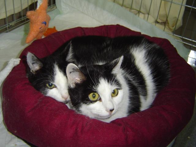 2 adorables chatons noir et blanc (5-6 mois) ALSACE Dsc01710