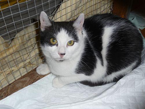 2 adorables chatons noir et blanc (5-6 mois) ALSACE Petit10