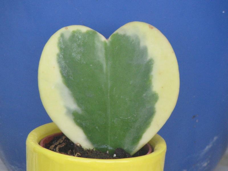 """Hoya Kerrii """" variegata """" Img_3610"""