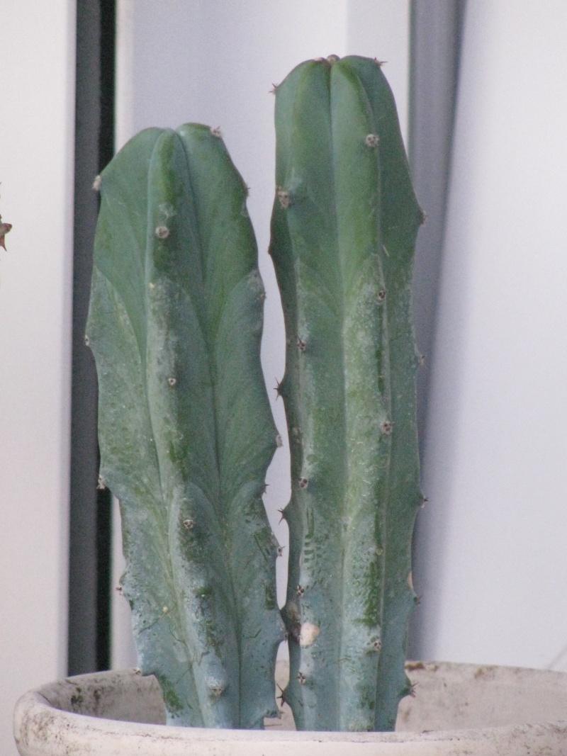 "Cactus à Identifier svp    ;-)   Merci  Fanny  ""  Myrtillocactus geometrizans "" Img_5810"