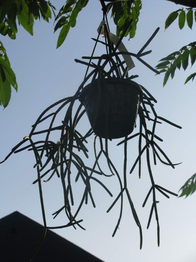 Rhipsalis  Pulunigerum  & Monocantha Img_6012