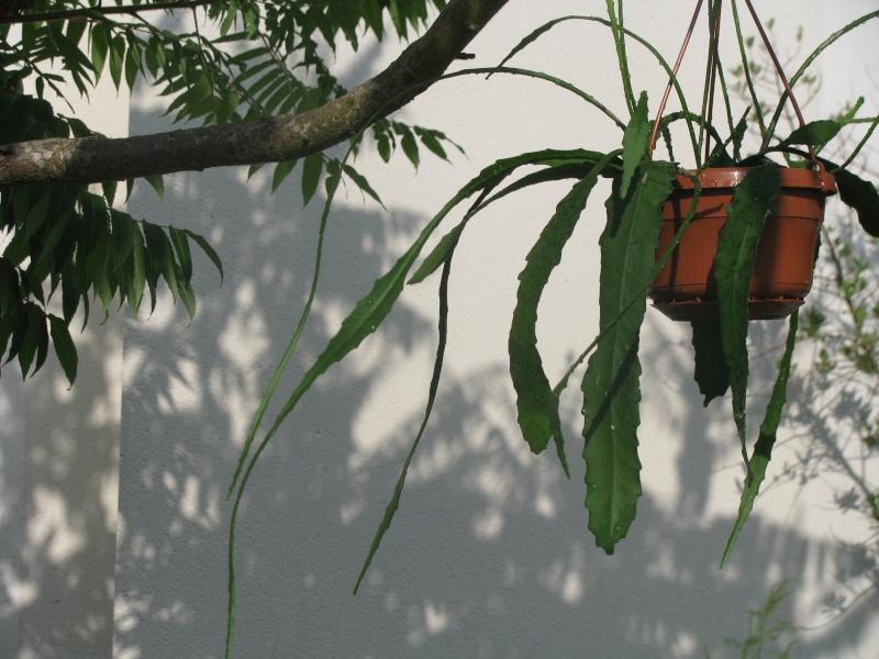 Achat d'Epiphyllum .... Img_6410