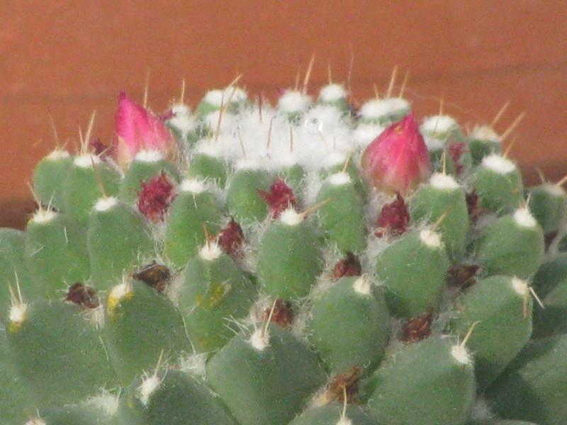 [Opuntia microdasys et Mammillaria polythele]Cactus à Identifier svp Img_6512