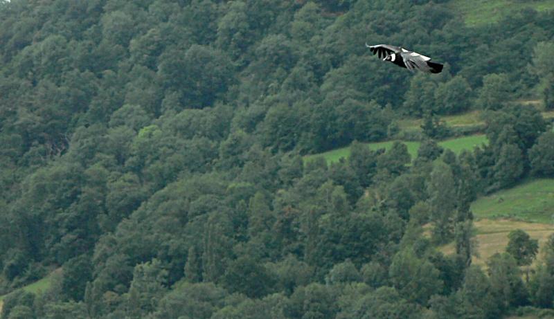 Rapaces (6) : condor des Andes P1180312