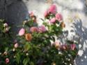 Je parle de mon jardin Camali10