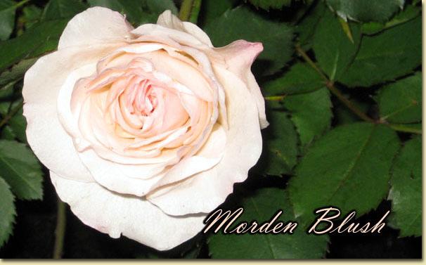 Mes rosiers rustiques Canadiens (photos 23 juin) Rose1110