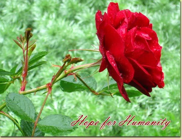 Mes rosiers rustiques Canadiens (photos 23 juin) Rose2210