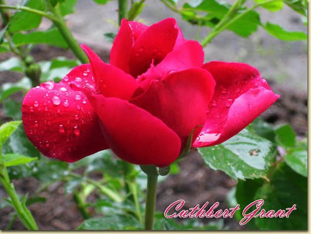 Mes rosiers rustiques Canadiens (photos 23 juin) Rose3310