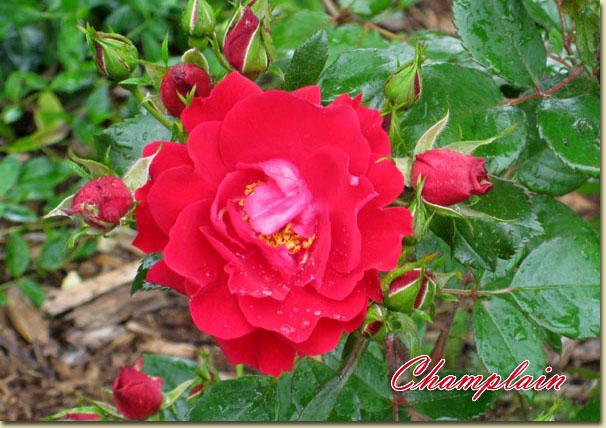 Mes rosiers rustiques Canadiens (photos 23 juin) Rose4410