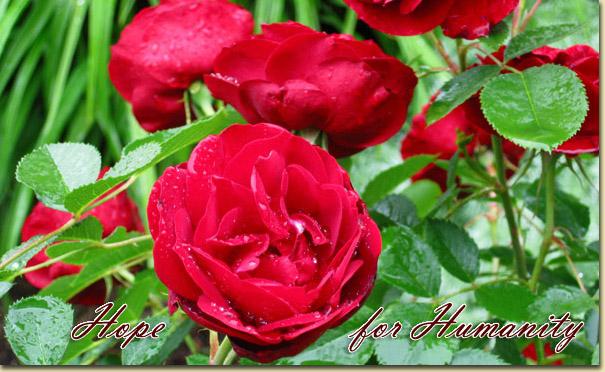 Mes rosiers rustiques Canadiens (photos 23 juin) Rose5510