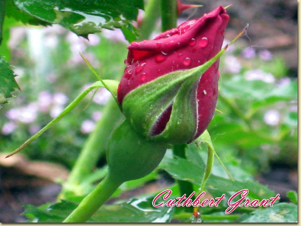 Mes rosiers rustiques Canadiens (photos 23 juin) Rose6610