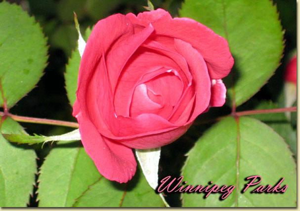 Mes rosiers rustiques Canadiens (photos 23 juin) Rose7711