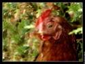 Poules pondeuses Poule10