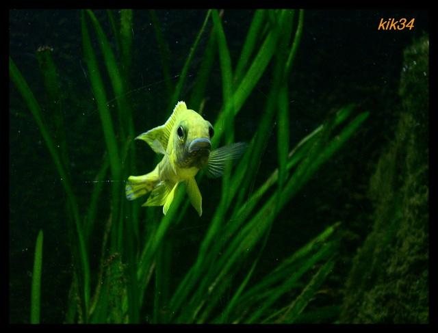 photos et videos de vos poissons du malawi Dscn0034